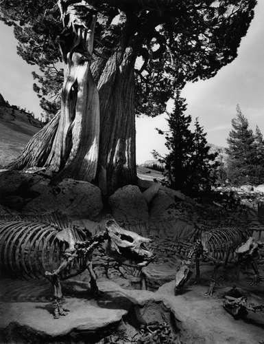 Untitled, aka Tree in Yosemite