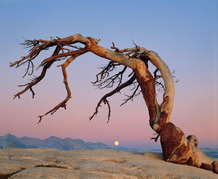 Jeffrey Pine and Moon, Yosemite National Park