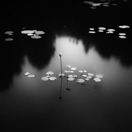 Lotus, South Korea (NR15)