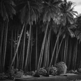 Coconut Trees, West Papua (NR05)