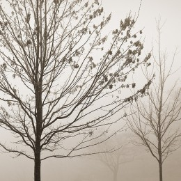 Maple & Fog, Blue Ridge Parkway, VA (A)