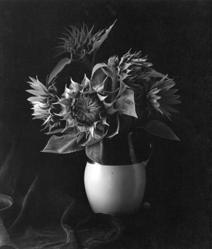 Sunflowers, Millerton, NY