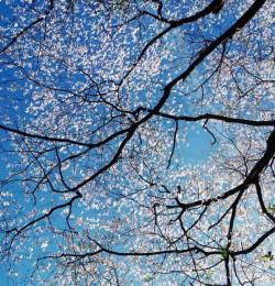 White Dogwood Canopy, Kentucky