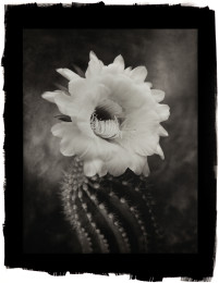 Argentine Giant Cactus