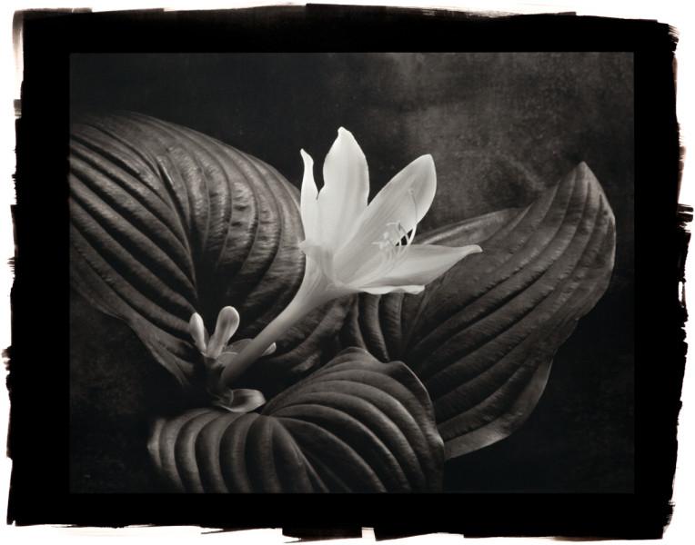 August Lily Hosta