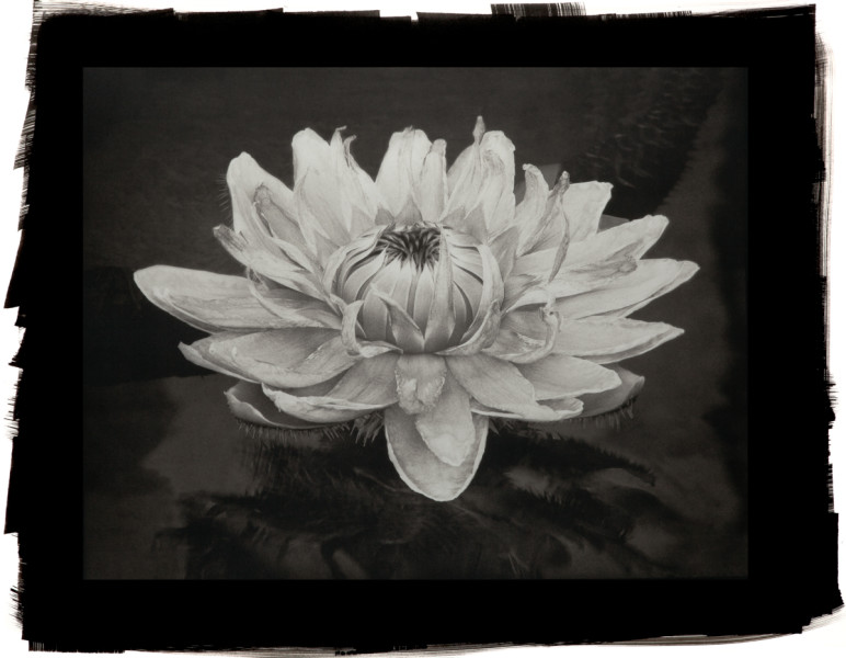 Queen Victoria Lily