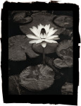 Trudy Slocum Water Lily
