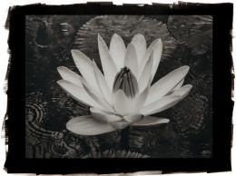 Wet Lily (Rosa de la Noche)