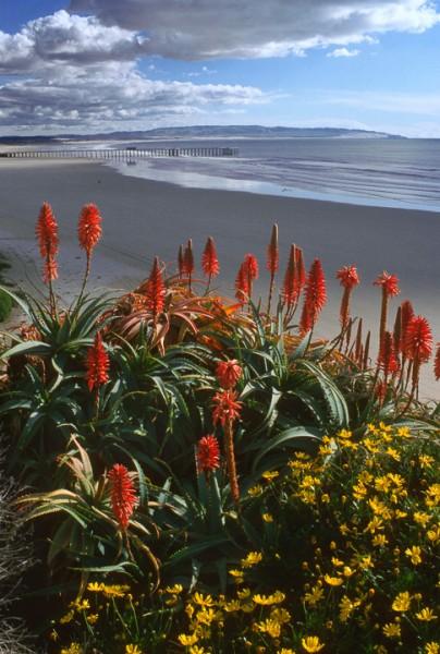 Pismo Pier Flowers