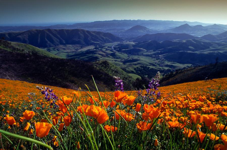Cuesta Grade Wildflowers