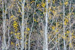Aspen Leaves, Lee Vining Canyon