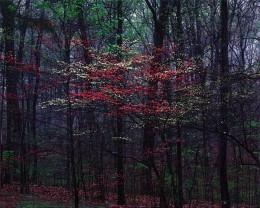 Pink and White Dogwoods, Bernheim Forest, Kentucky