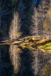 Cottonwoods Reflected, Merced River, Yosemite National Park