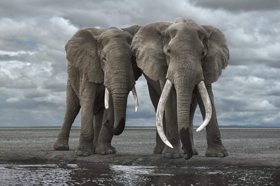 Two Elephants Drinking, Amboseli, Kenya