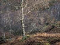 Sidelit Silver Birches, Lake District, England