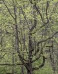 Large Oak near Oconaluftee, Great Smoky Mountains