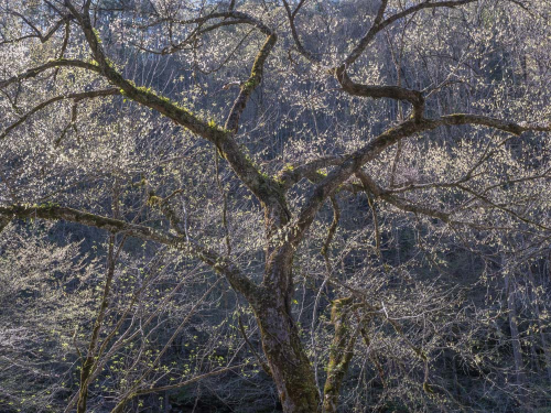Backlit Tree, near Tremont, Great Smoky Mountains