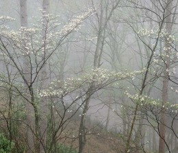 Dogwood In Fog, Red River Gorge, Kentucky