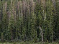 Bent Snag, River Range, Wyoming