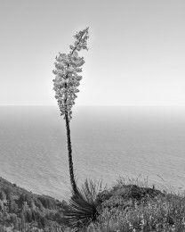 Big Sur Yucca Blossom