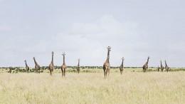 Twelve Giraffes, Maasai Mara