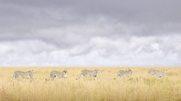 Cheetah Coalition, Maasai Mara
