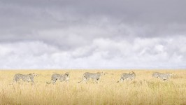 Cheetah Coalition, Maasai Mara