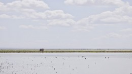 Elephant on the Horizon, Amboseli