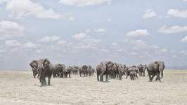 Elephants Crossing Dusty Plain