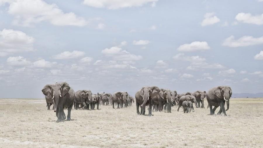 Elephants Crossing Dusty Plain