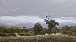 Lioness and Four Cubs at River Edge, Maasai Mara