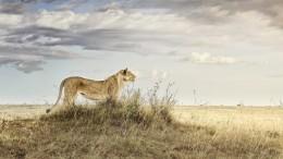 Lioness in Repose, Maasai Mara