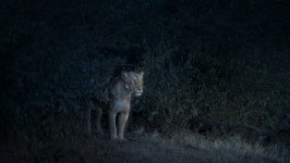 Nocturne (Lioness), Maasai Mara