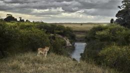 One Eyed Lion, Maasai Mara, Kenya