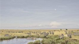 Zebras at Watering Hole, Maasai Mara, Kenya