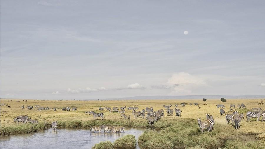 Zebras at Watering Hole, Maasai Mara, Kenya
