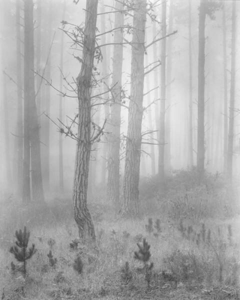 Del Monte Forest aka Pines In Fog: Wynn Bullock