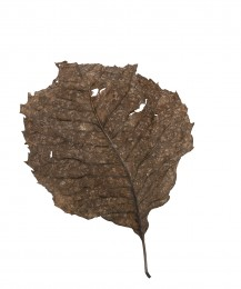 Fallen Leaves #16