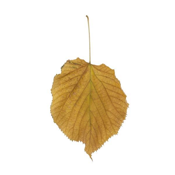 Fallen Leaves #8