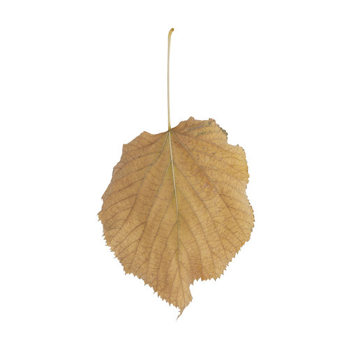 Fallen Leaves #9