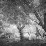 Garden of Gethsemane 1