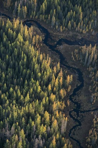 Autumn Tamaracks, Saranac River Valley, near Saranac Lake, NY