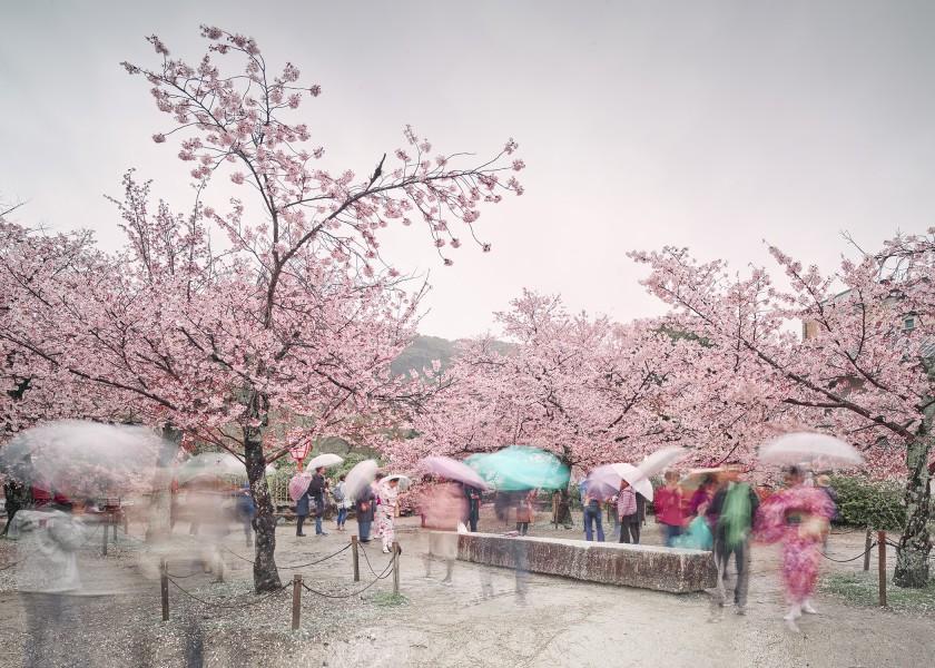 Hanami (Rainy 1), Kyoto