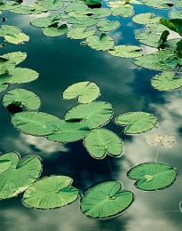 Lily Pads on Siesta Lake, Ysoemite