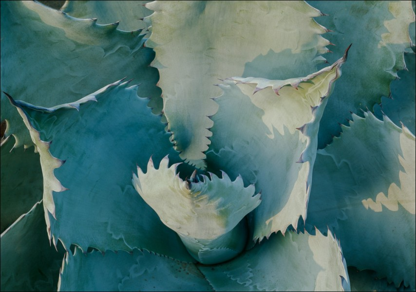 Agave Colorata, Huntington Botanical Gardens