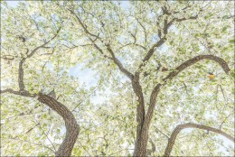 Pear Tree in Bloom, Fresno