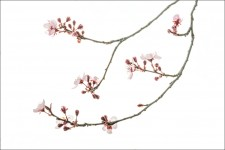 Purple Plum Blossoms #2