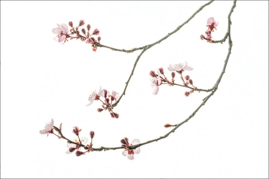 Purple Plum Blossoms #2