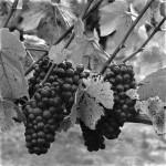 Pinot Vines
