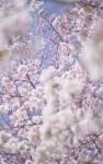 Sakura 1, Kyoto, Japan